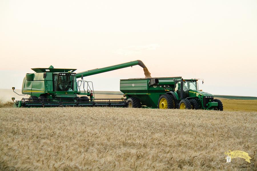 Wheat Harvest 2014-6