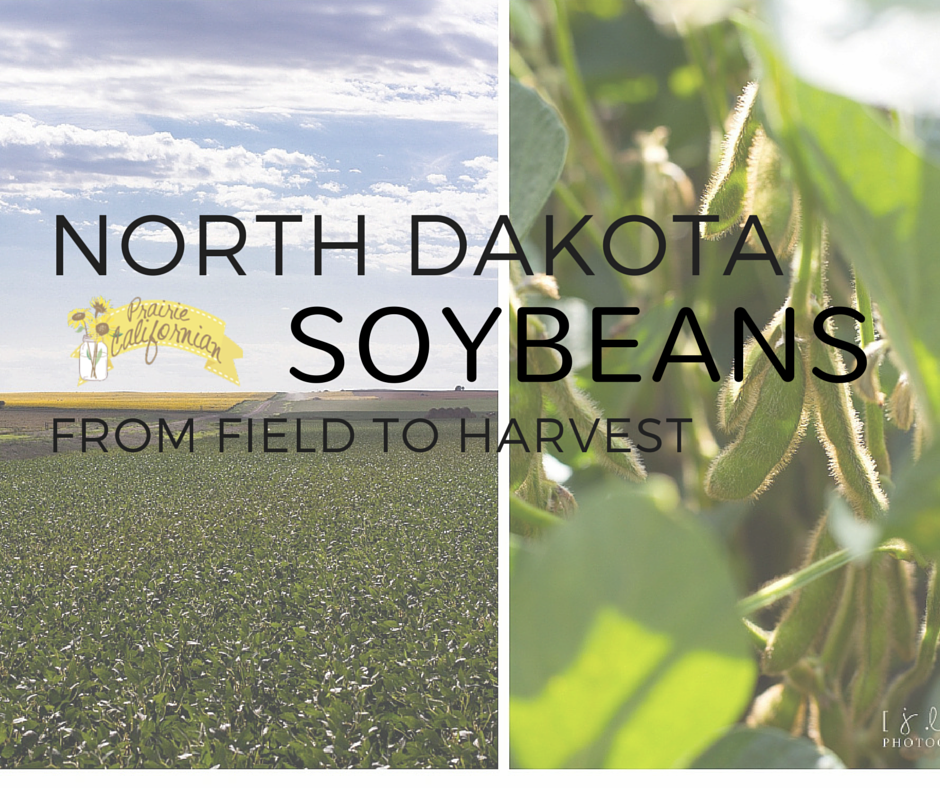 North Dakota Soybeans From Field to Harvest