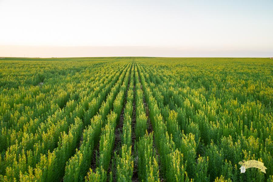 July Crops 2014-15