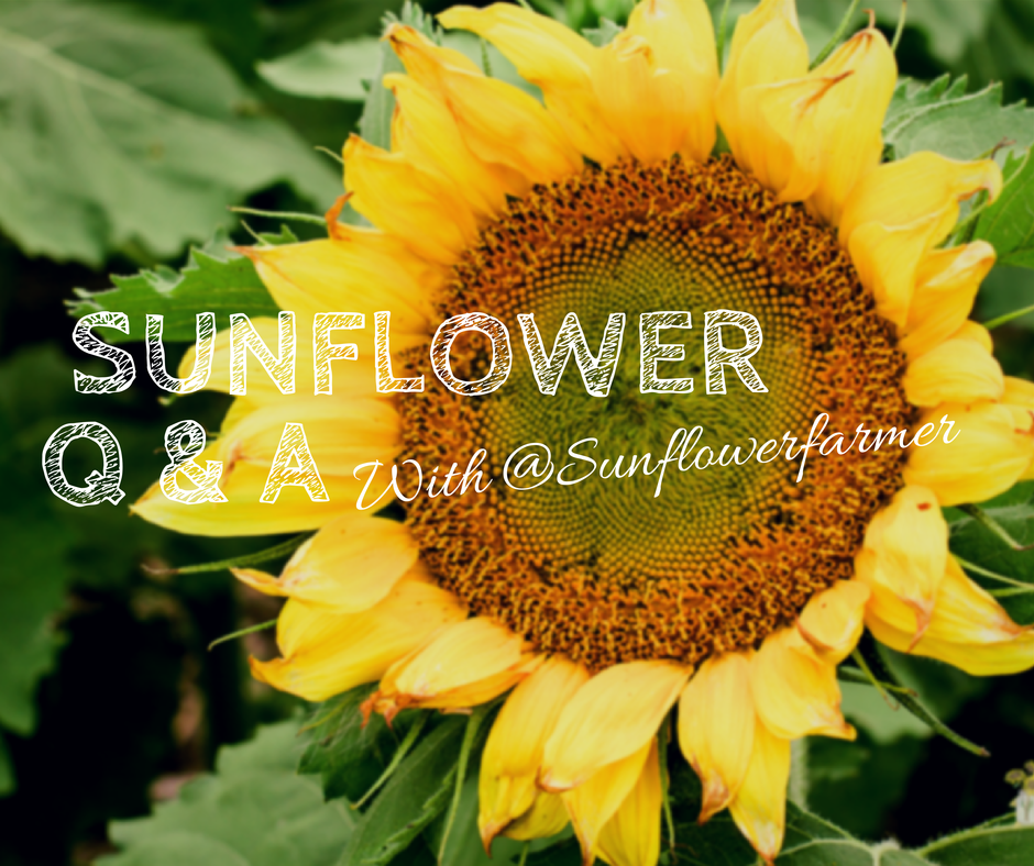 SUNFLOWER Q&A with Sunflowerfarmer - Prairie Californian