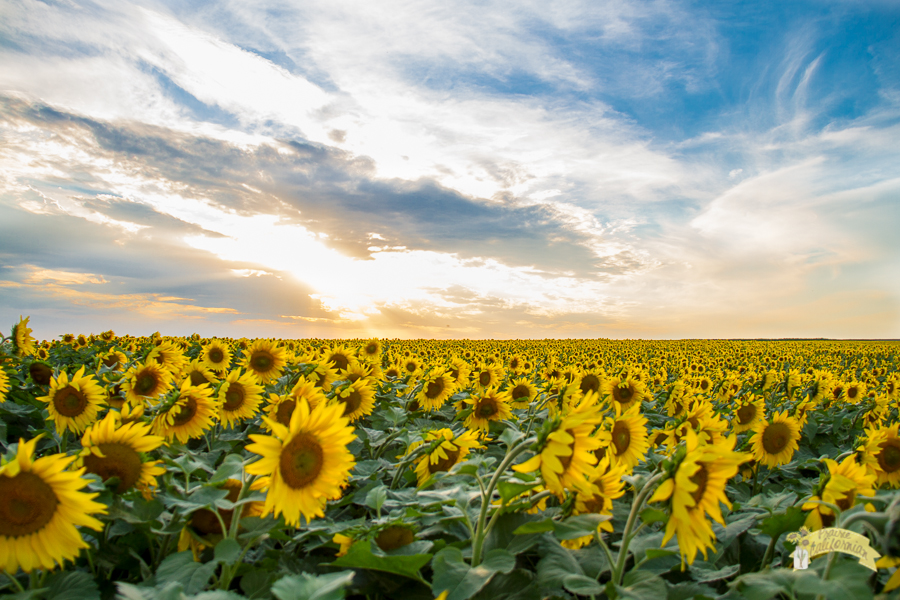 Sunflowers & Crops-22