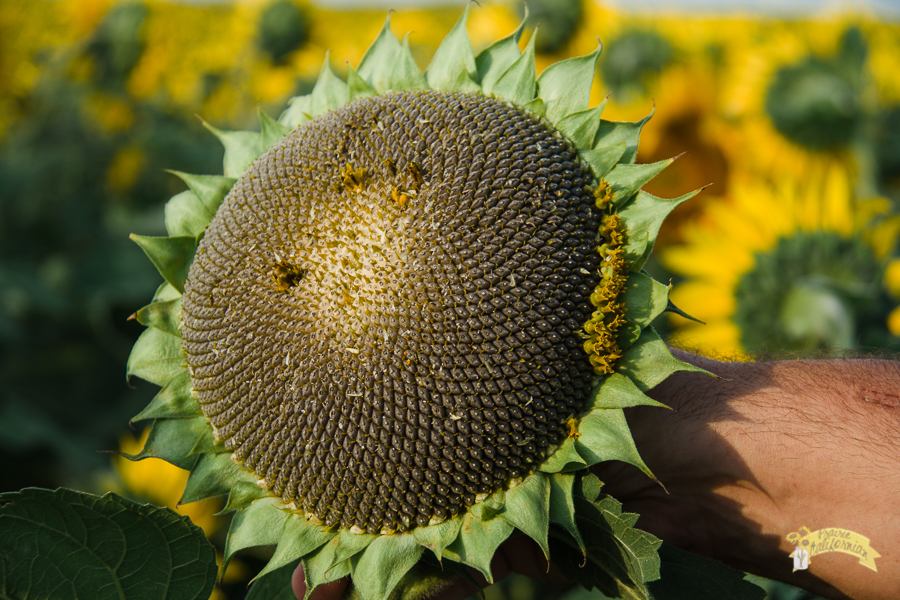 Sunflowers & Crops-10