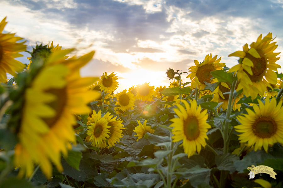 Where to find sunflowers for Where to buy photography