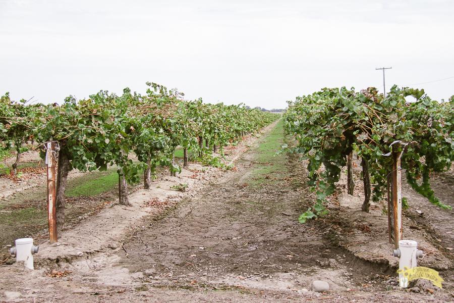 Bogle Vineyards-3