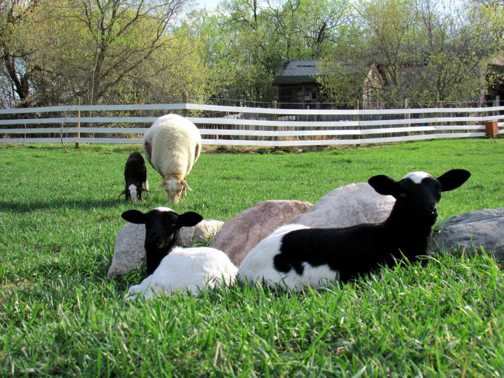 Charlotte Schwanke - 2014 - May lambs (Tulip twins & Dottie)