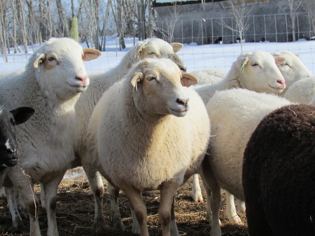 Charlotte Schwanke - 2014 - spring ewes