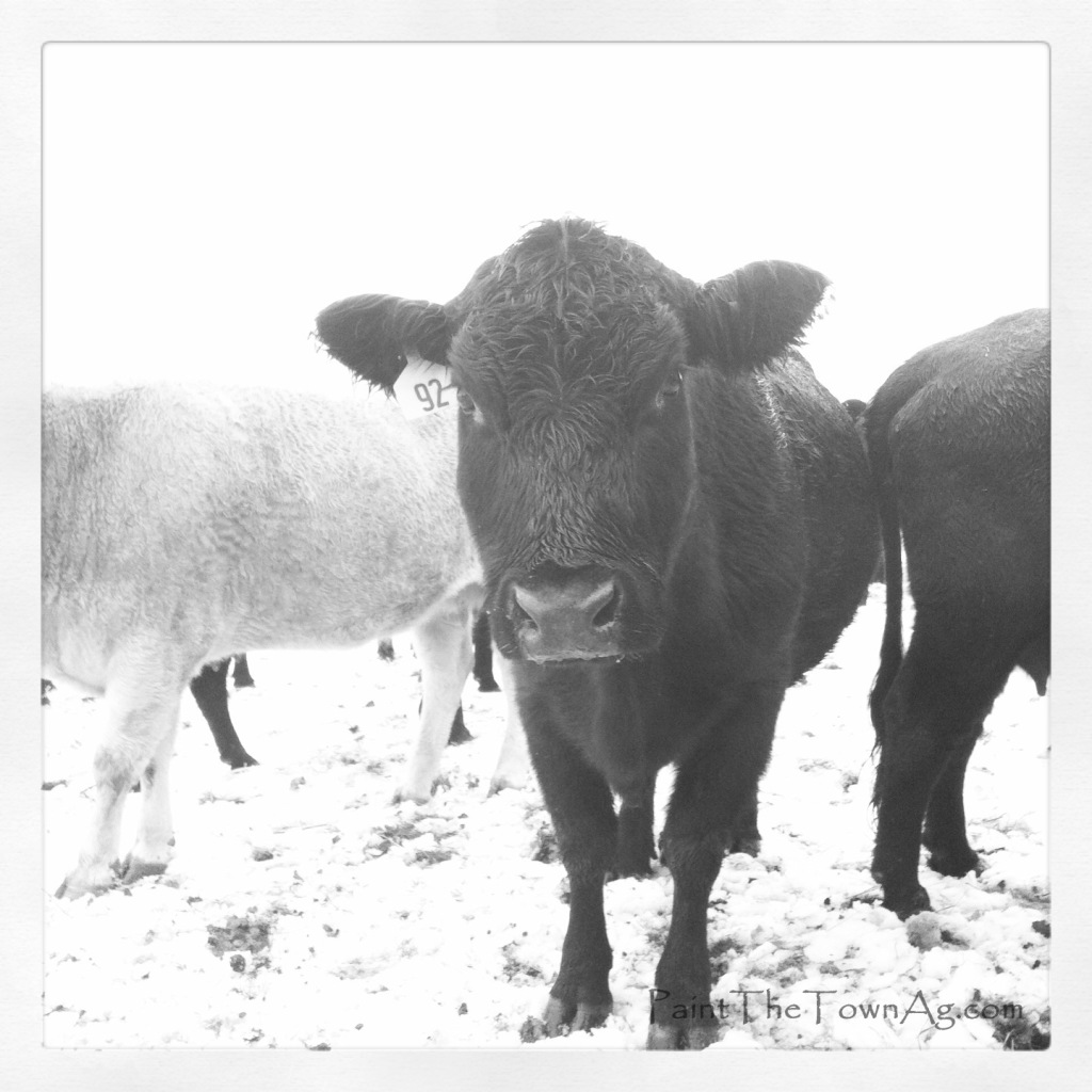 Lauren Arbogast 2 - Cows In Snow_PaintTheTownAg