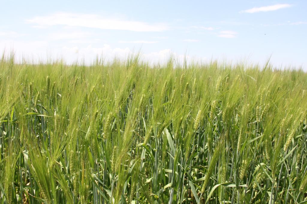 Maude - barley1