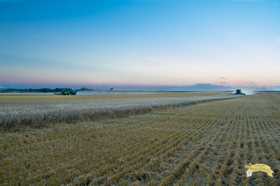Wheat Harvest 2014-13