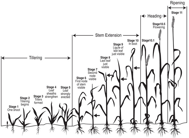 wheat growth stages anthesis Zadoks growth scale is a a 0-99 scale of development growth scales are a means of quantifying the growth stage of a crop in a (anthesis) 7 - milk.
