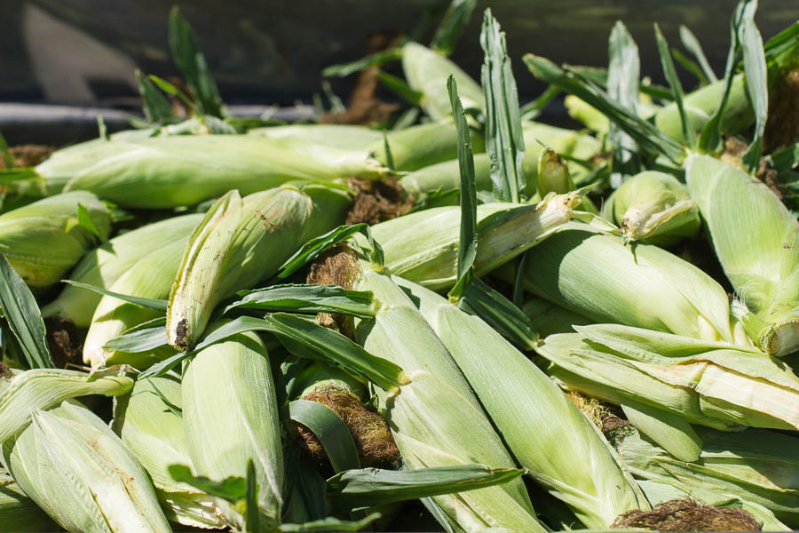 Sweet Corn - Prairie Californian-6