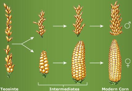 corn-evolution-truth-saves-com