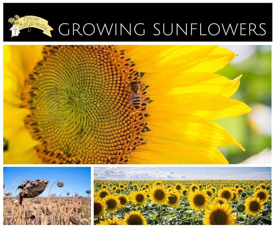 how to grow sunflowers toronto