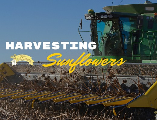 Harvesting Sunflowers - Prairie Californian