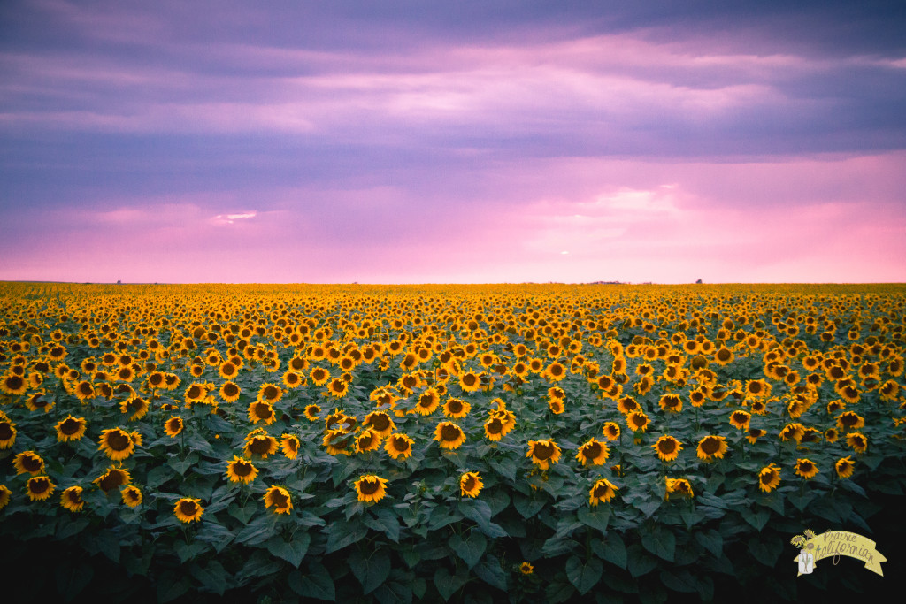 Sunflowers -1