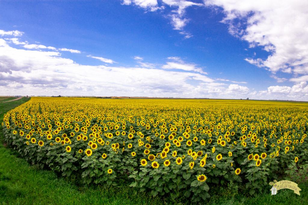 Sunflowers 2016-25