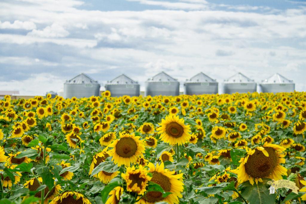 Sunflowers 2016-36