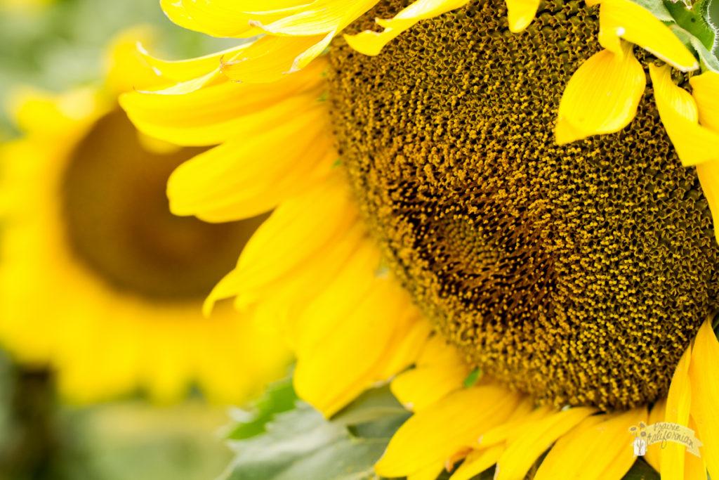 Sunflowers 2016-43