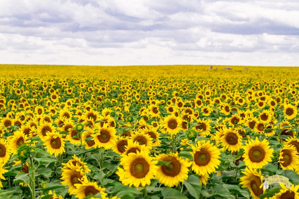 Sunflowers 2016-9